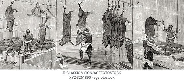 Three scenes from a slaughterhouse in Chicago, United States of America in 1892. 1. Hanging the pig. 2. Killing the pig 3. Scalding the pig