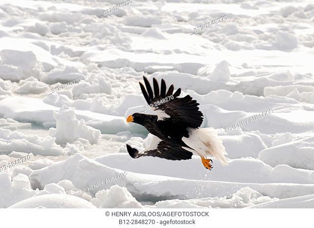 Steller's sea eagle (Haliaeetus pelagicus) flying, take-off, Russia