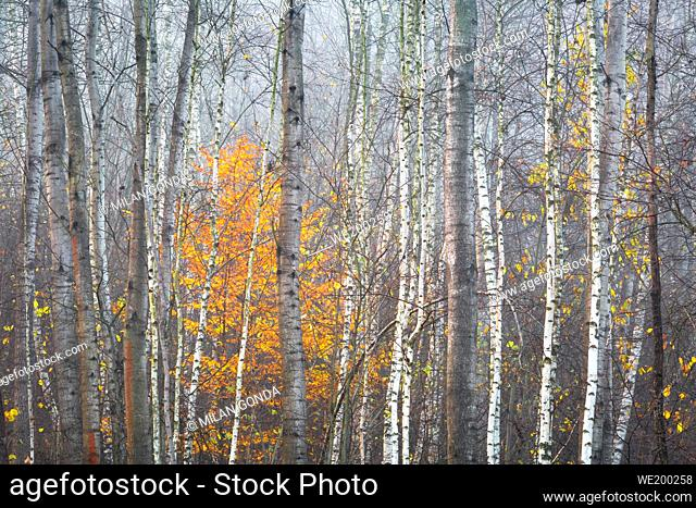 Autumnal forest in the foothills of Velka Fatra mountain range, Slovakia