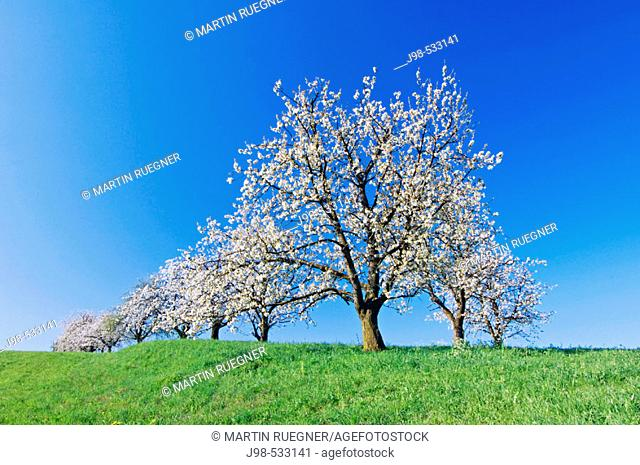 Blossoming Cherry tree in meadow. Lake Constance region, Baden-Württemberg (Baden-Wuerttemberg), Germany, Europe