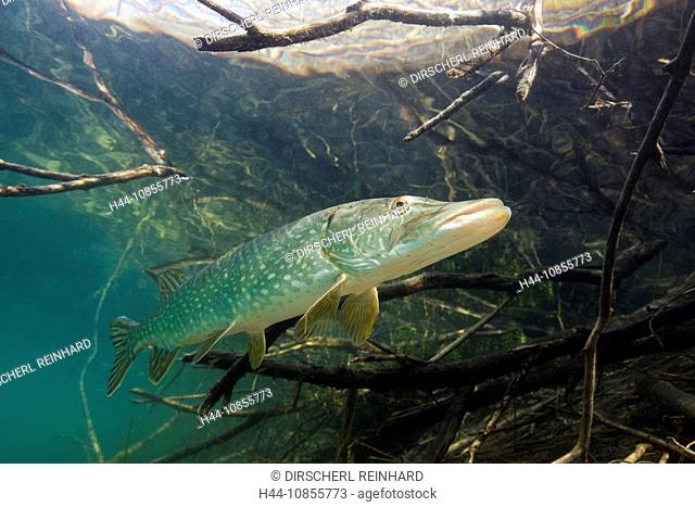 10855773, Northern Pike, Esox lucius, Germany, Ech