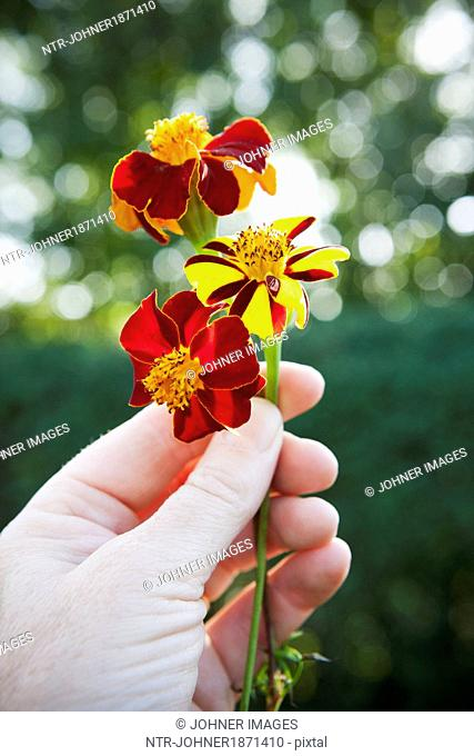 Hand holding tagetes flowers, close-up