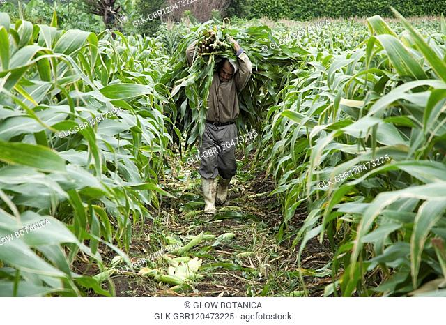 Man carrying harvested corns in a field