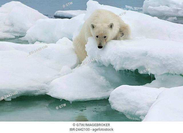 Polar bear (Ursus maritimus) on an ice floe, Svalbard Archipelago, Barents Sea, Norway, Europe