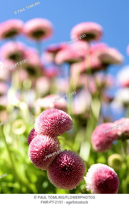 Daisy, Double daisy, Bellis perennis, side view of pink flowers growing outdoor. with blue sky behind