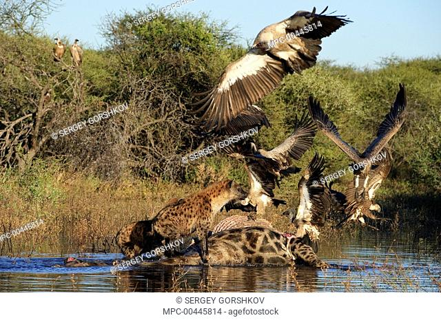 Spotted Hyena (Crocuta crocuta) chasing Cape Vulture (Gyps coprotheres) and White-backed Vultures (Gyps africanus) from zebra carcass, Botswana