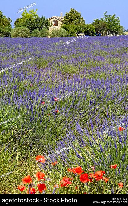 Lavender field, Plateau de Valensole, Alpes-de-Haute-Provence, Provence, Lavender, Lavender field, France, Europe