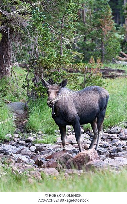 Moose Alces alces shirasi, cow, Roosevelt National Forest, Colorado