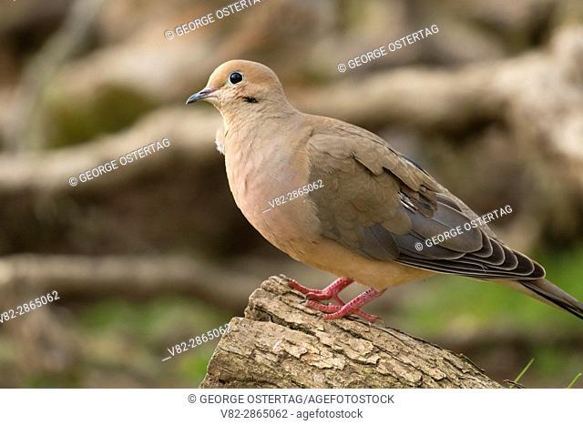 Mourning Dove (Zenaida macroura), William Finley National Wildlife Refuge, Oregon