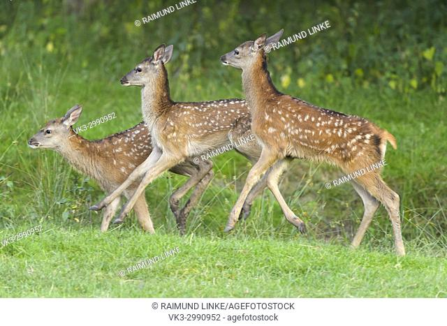 Red deer, Cervus elaphus, Three Fawn Running at the Forest Edge