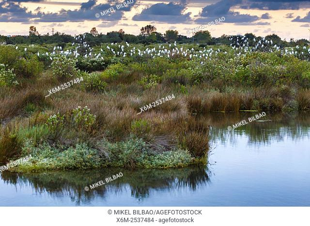 Cattle egrets (Bubulcus ibis). Marismas de Santoña, Victoria y Joyel Natural Park. Cantabria, Spain, Europe