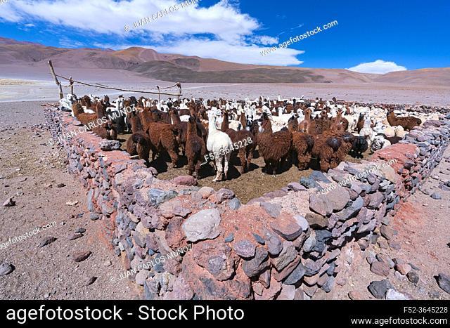 LLAMA (Lama glama). La Puna, Argentina, South America, America