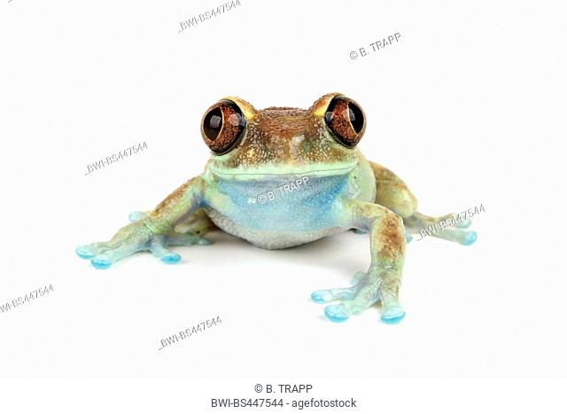 Ruby Eyed Treefrog (Leptopelis uluguruensis), front view, cutout, Tanzania, Uluguru