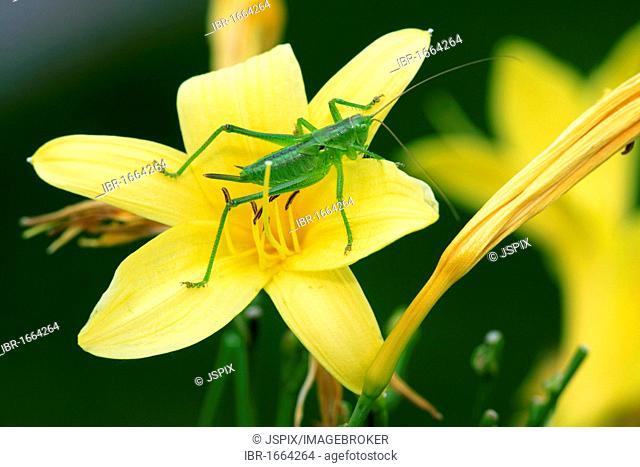 Speckled bush-cricket (Leptophyes punctatissima), to blossom, Germany, Europe