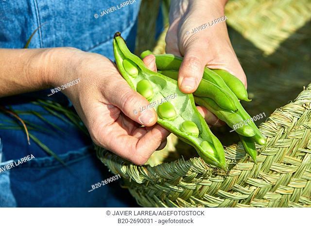 A farmer shows freshly harvested beans, Agricultural field, Villafranca, Navarra, Spain, Europe