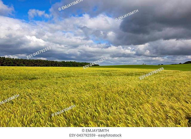 golden ripening barley field with pine woodland under a summer stormy sky in the yorkshire wolds