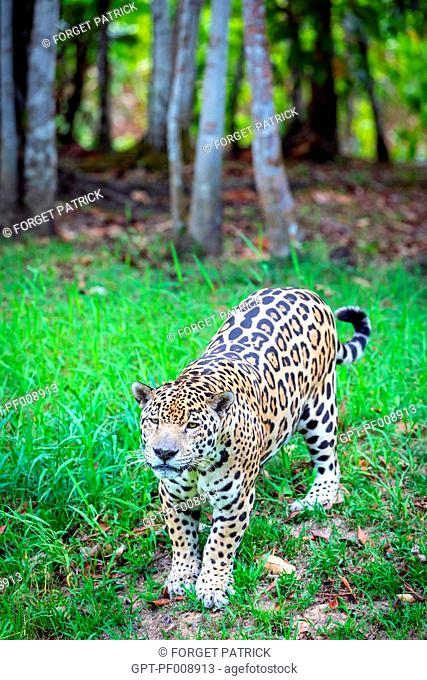 SPOTTED MALE JAGUAR, ZOO OF GUIANA, MACOURIA, FRENCH GUIANA, OVERSEAS DEPARTMENT, SOUTH AMERICA, FRANCE