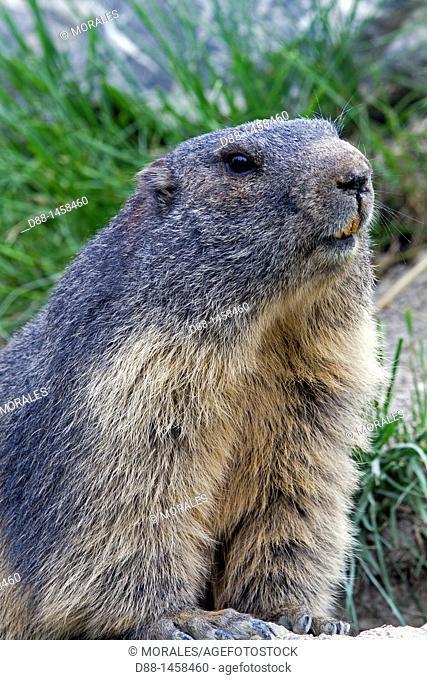 Alpine Marmot (Marmota marmota), Alpes-de-Haute-Provence, France