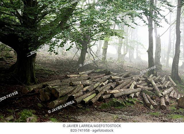 Forest, Belate, Baztan Valley, Navarra, Spain