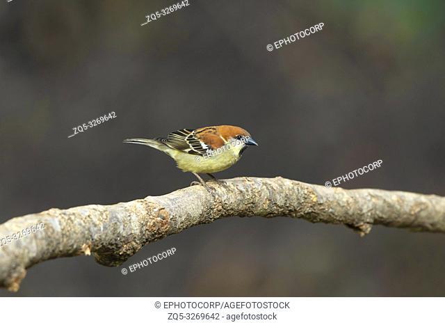 Ruppel's starling, Lamprotornis purpuroptera, Lake Naivasha, Kenya, Africa