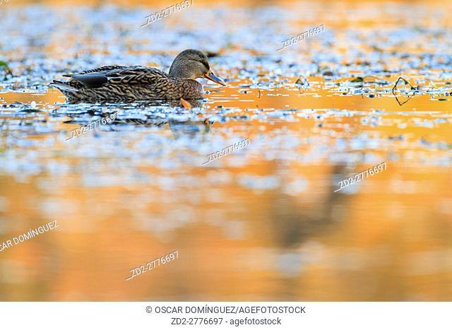 Mallard (Anas platyrhynchos) female swimming on water. Lower Silesia. Poland