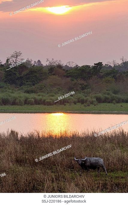 Wild asian Water Buffalo .(Bubalus arnee) bull in front of waterhole at sunset, Kaziranga-Nationalpark, Assam, Indien