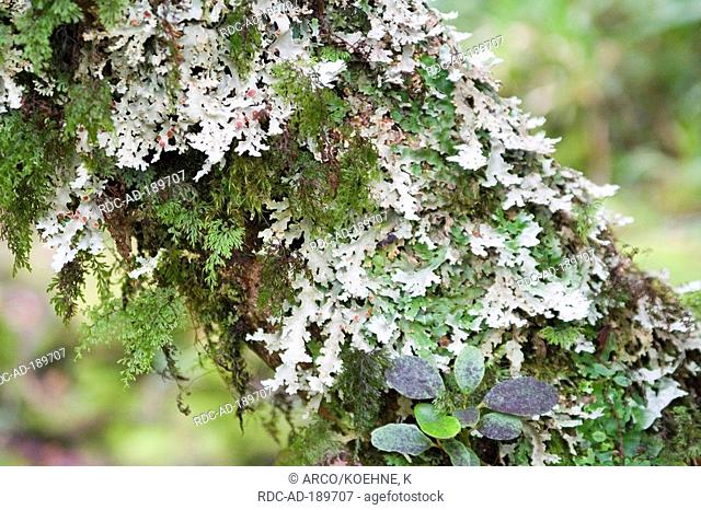 Lichen, Taranaki national park, North Island, New Zealand