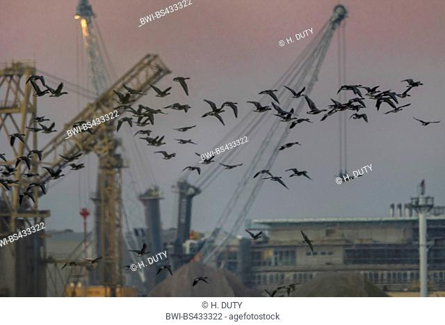 Bean Goose, Taiga Bean Goose (Anser fabalis), bean geese in front of harbor cranes at sunrise, Germany, Mecklenburg-Western Pomerania, Schnatermann, Rostock