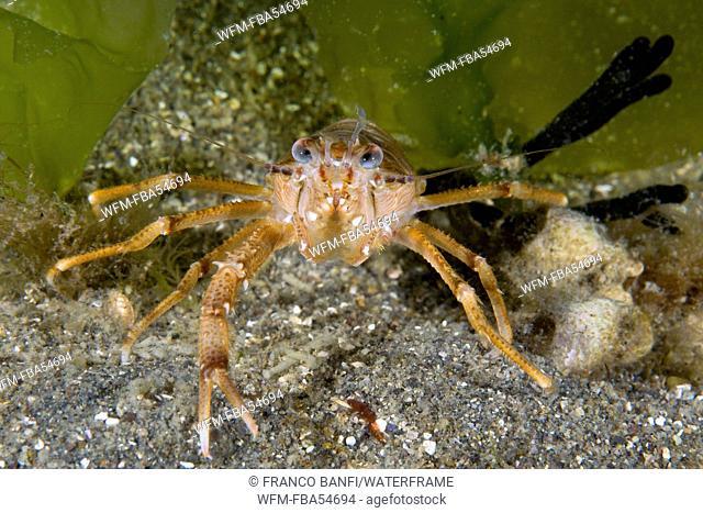 Squad Lobster, Munida quadrispina, Valdes Peninsula, Patagonia, Argentina