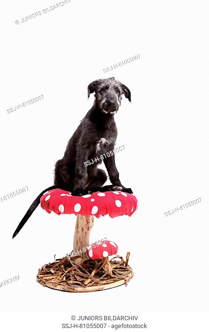 Irish Wolfhound. Puppy (9 weeks old) sitting on a big Fly Agaric. Studio picture against a white background. Germany