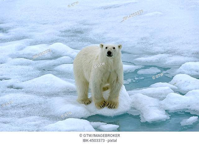 Polar bear (Ursus maritimus), female walking on pack ice, Svalbard Archipelago, Barents Sea, Arctic, Norway