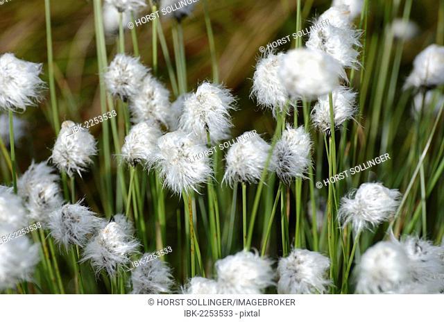 Hare's-tail Cottongrass, Tussock Cottongrass or Sheathed Cottonsedge (Eriophorum vaginatum L.) in flower after rain, near Rosenheim, Bavaria, Germany, Europe