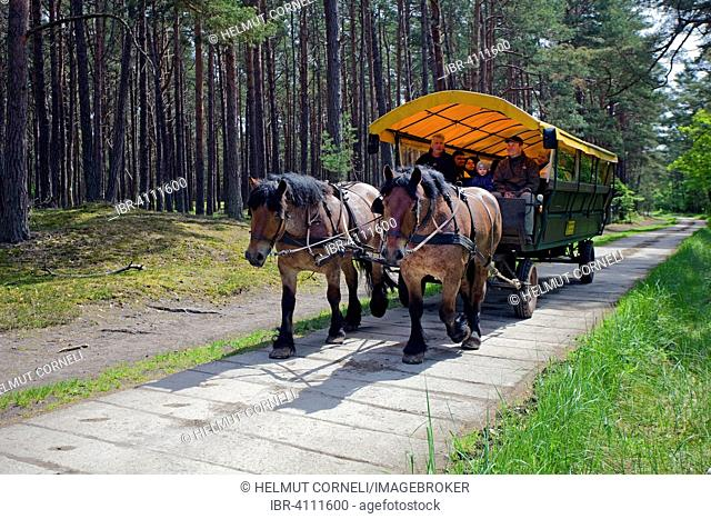 Horse drawn carriage on the way to Darßer Ort, forest track, near Prerow, Darß, Fischland, Mecklenburg-Western Pomerania, Germany