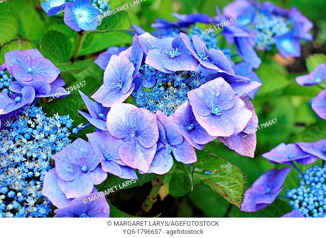 Beautiful hortensia, hydrangeaceae flowers in bloom