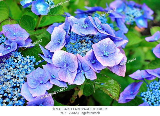 Beautiful hortensia, hydrangeaceae flowers in bloom