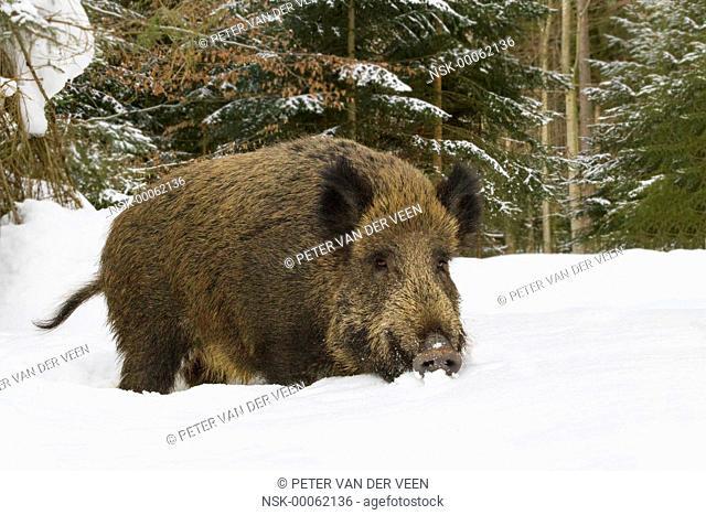 Wild Boar (Sus scrofa) standing in snow, Germany