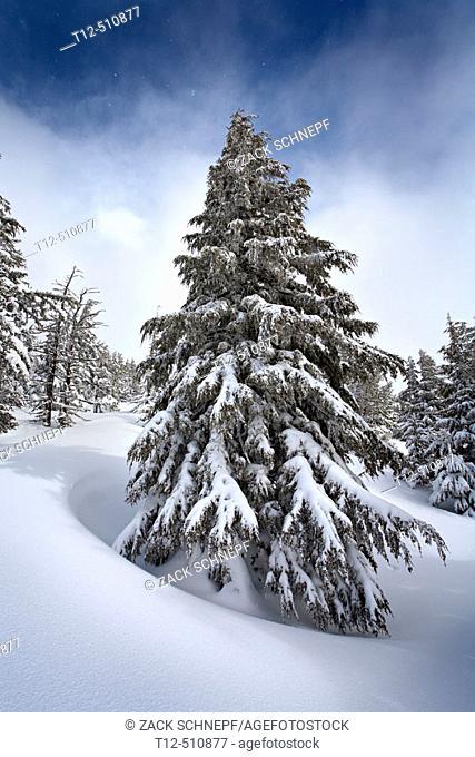 A frozen fir tree in a snow field on Tumalo Mountain, Oregon