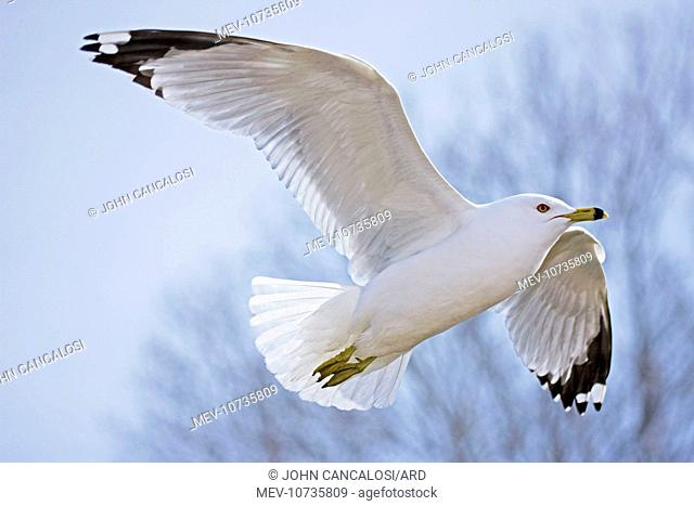 Ring-billed Gull - Adult soaring - Most commonly seen gull - especially inland (Larus delawarensis)