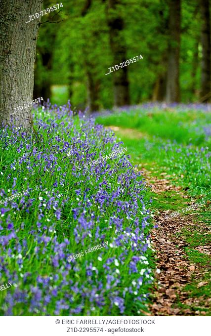 Bluebell woods Blairgowrie Perthshire Scotland