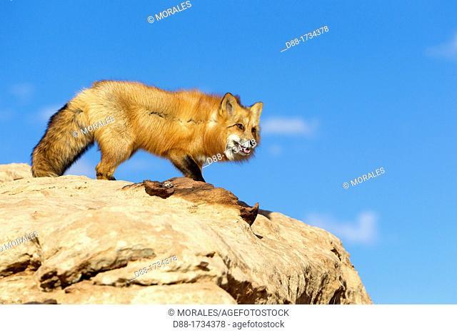 United Sates , Utah , Red Fox  Vulpes vulpes