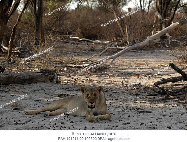 29 November 2019, Namibia, Etosha-Nationalpark: A lion lies in the shade in Etosha National Park. Photo: Oliver Berg/dpa