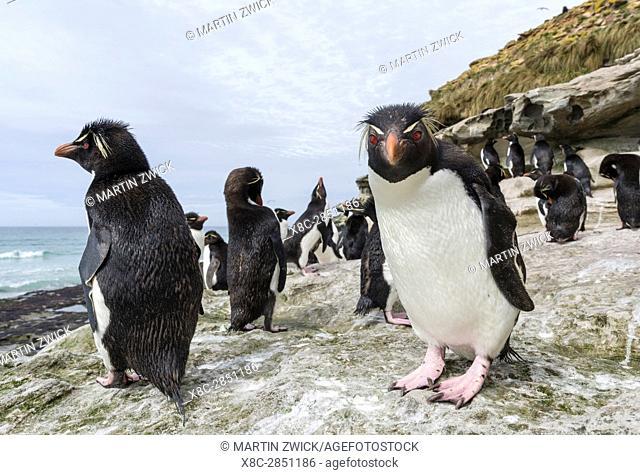 Rockhopper Penguin (Eudyptes chrysocome), subspecies western rockhopper penguin (Eudyptes chrysocome chrysocome). South America, Falkland Islands, January