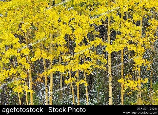 Snow and aspen trees in autumn colors Kananaskis Country Alberta Canada