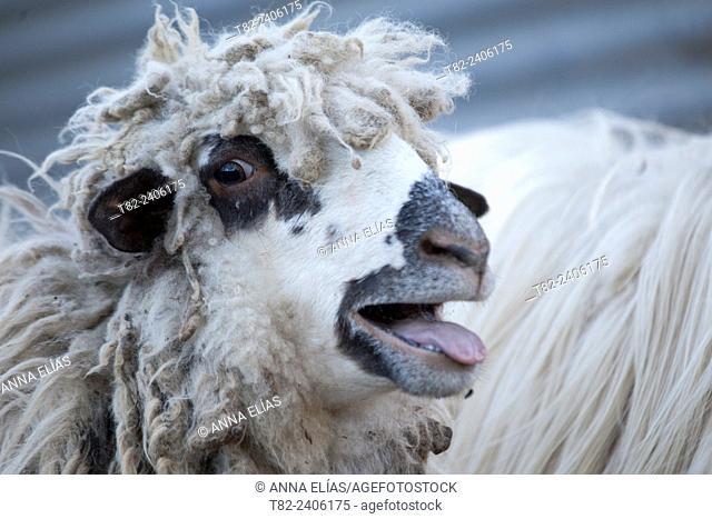 autoctonas Lebrijana Churra sheep, Andalucia, Spain, Europe