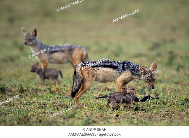 Black-backed jackal male with two week old pups watched by 'helper' in the background (Canis mesomelas). Maasai Mara National Reserve, Kenya. Aug 2011