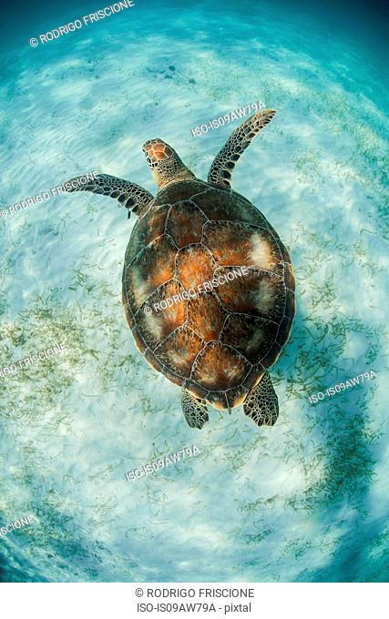 Green Turtle (Chelonia Mydas) looks for seagrass foraging grounds in the shallows of Akumal Bay, Mexico