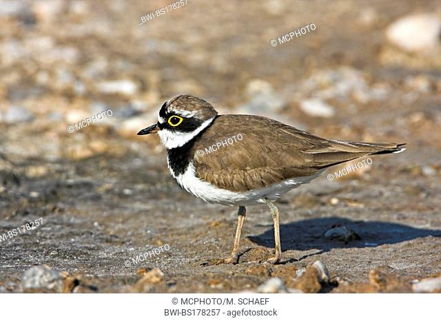 little ringed plover (Charadrius dubius), walking, Greece, Lesbos