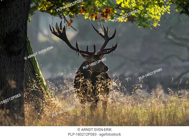 Red deer (Cervus elaphus) stag with antlers covered in mud and vegetation during the rut in autumn forest