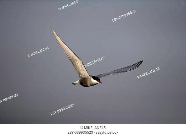 Whiskered tern, Chlidonias hybridus, single bird in flight, Hungary