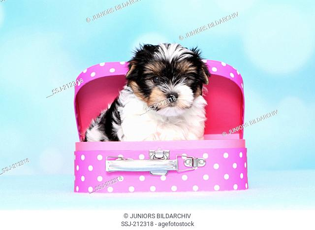 Biewer Terrier. Puppy (8 weeks old) in a toy suitcase. Studio picture against a blue background. Germany